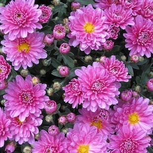 reise-chrysanthema