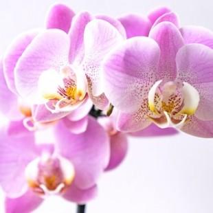 reise-orchideen
